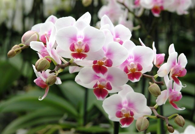 orchidea Phalaenopsis Brother Pico Sweetharth 1